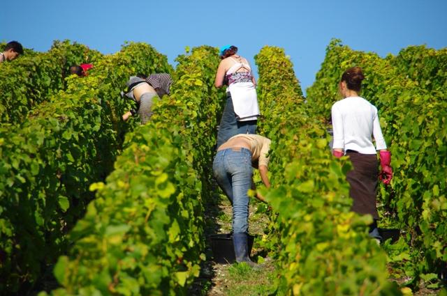 Bronzette on the vines